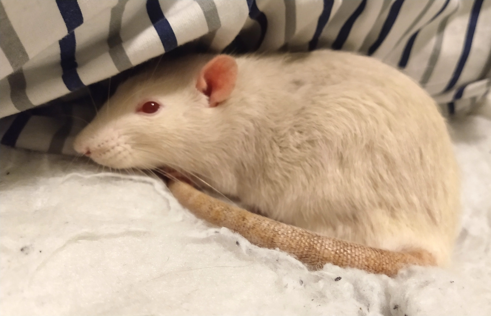 Derek relaxing in the bedding, Jan 2020.
