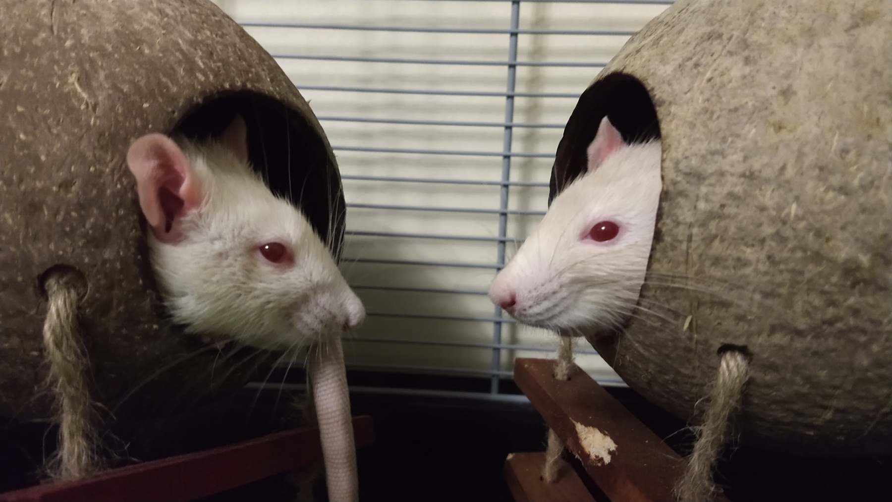 Rat bookends, Apr 2019.